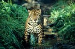 Jaguar in Rain Forest